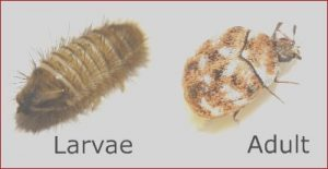 How to Get Food Coloring Off Carpet Awesome Photography How to Get Rid Of Carpet Beetles Pests Gone now