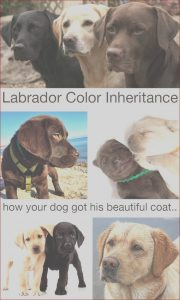 Labrador Coloring Best Of Photos Labrador Color Inheritance with New Puppy Color Charts