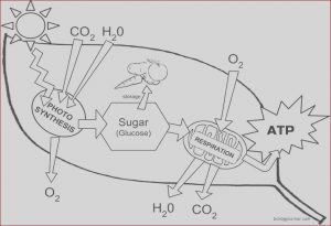 Photosynthesis Coloring Sheet Cool Photos Chloroplast Structure and Function Coloring