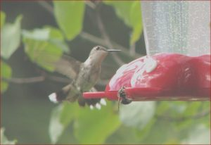 Does Red Food Coloring Hurt Hummingbirds Beautiful Gallery Birds Of the Baltimore Washington area Ruby Throated