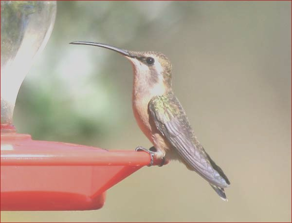 search of the week hummingbirds wont eat instant nectar