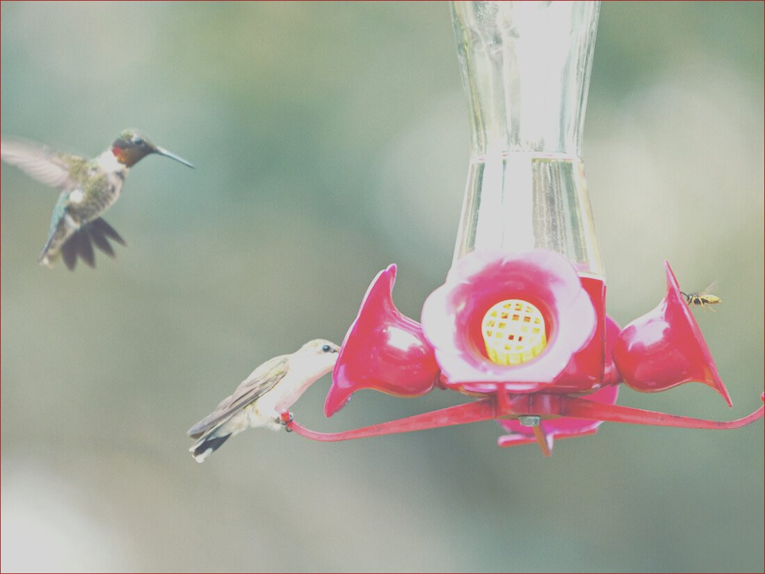 safely attracting hummingbirds with feeders and sugar water