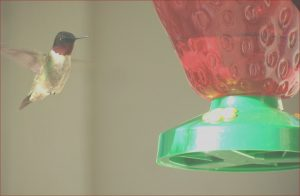 Is Food Coloring Safe for Hummingbirds Beautiful Photos Frequently asked Questions About Hummingbirds Bird