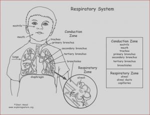 Respiratory System Coloring Sheets Inspirational Gallery Respiratory System Coloring Page Middle High School