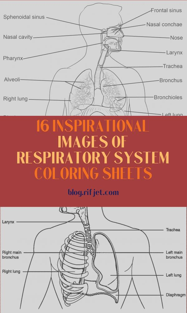 Respiratory System Coloring Sheets Luxury Photos Respiratory System Coloring Page