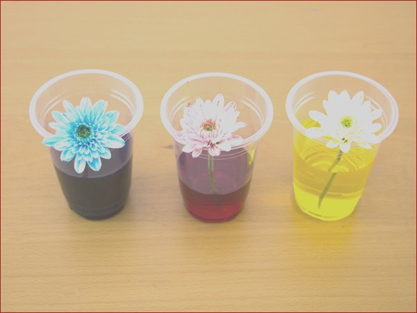 dyed flowers with food coloring kids activity